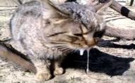 На Волині скажений кіт покусав двох дітей