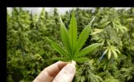 Судили волинянина, який поштою замовляв марихуану