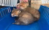 Волинянин ловив та продавав лисиць за 2 тисячі грн: чоловіка затримали