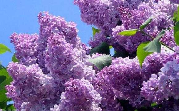 «Наснилася весна»: в Україні посеред жовтня зацвів бузок. ФОТО