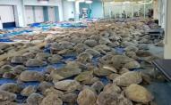 Аномальний холод у США паралізував тисячі морських черепах