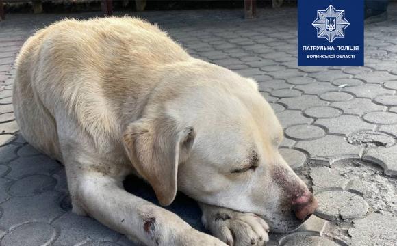 Патрульні поліцейські у Луцьку допомогли собаці віднайти господаря. ФОТО
