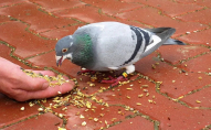 Поліція оштрафувала студента за годування голубів. ФОТО