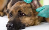 Чому на Волині масово труять собак?