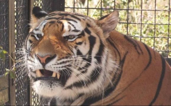 Зачепив кігтем за кофту: у зоопарку тигр відкусив палець однорічній дитині. ВІДЕО