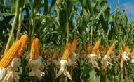 На Волині зловили 18-річного крадія кукурудзи