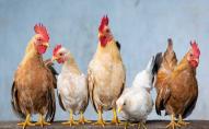 Україна різко скоротила експорт курятини та яєць