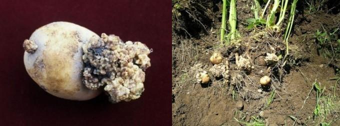 Через небезпечну хворобу картоплі на Волині запровадили карантин, їсти її категорично не можна. ФОТО