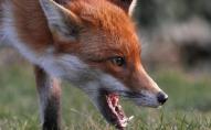 Скажена лисиця напала на собаку: у селі на Волині оголосили двомісячний карантин. ВІДЕО