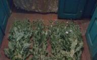 Волинянка на городі замість розсади вирощувала наркотики