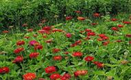 На Волині проведуть осінній фестиваль квітів, назвали дату