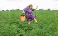 Собака внюхав «травку»: прикордонники затримали бабусю з наркотиками. ВІДЕО