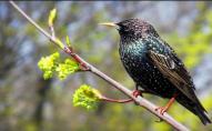 На Волинь з теплих країв повертаються птахи