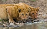 У сафарі-парку, за 20 метрів від джипа, леви розірвали гіда