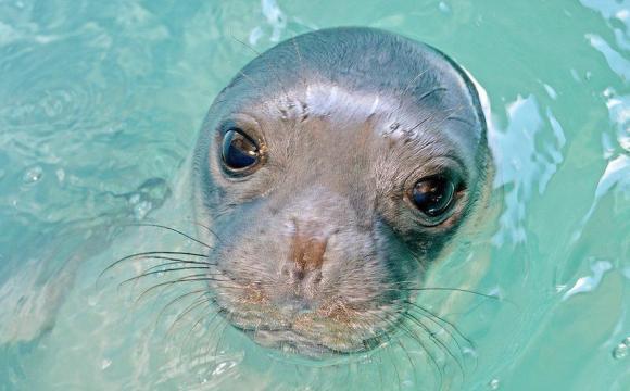 Убили знаменитого тюленя-талісмана. ВІДЕО