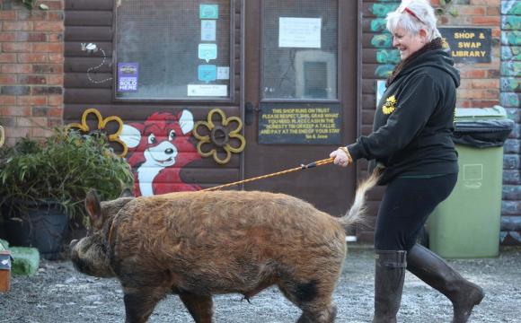 Кабан, який виріс з собаками, гуляє на повідку та виконує команди. ФОТО