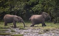 Африканські слони на межі вимирання: і їх, і їм лишилось небагато