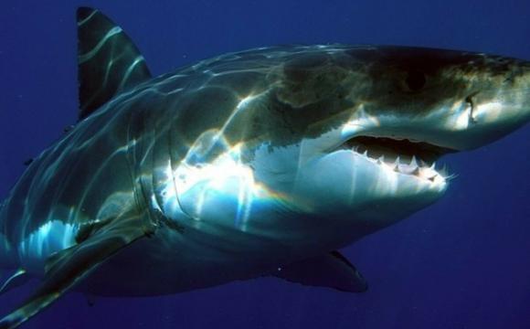 Двометрові акули біля берегів Нової Зеландії почали світитися. ФОТО