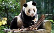 Померла найстаріша у світі панда