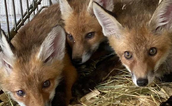 Врятовані від браконьєра лисенята повертаються додому. ФОТО