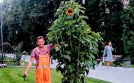 У Луцьку з парку зник унікальний сонях-рекордсмен