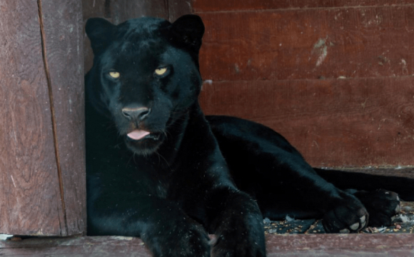 В екопарку під Полтавою пантера напала на ветеринара: схопила за голову