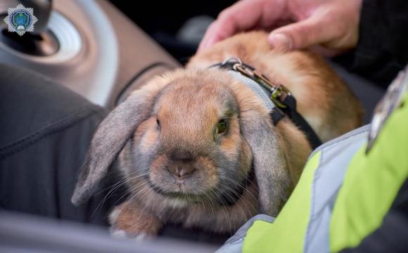Справжній кролик, який працює поліцейським перевірив готовність до великодніх свят. ВІДЕО