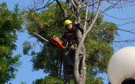 Поповнення місцевого бюджету: у Луцьку за зрізані дерева потрібно буде платити штраф