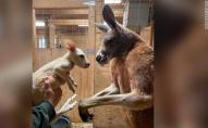 У зоопарку народився білий кенгуру з рідкісним захворюванням. ФОТО. ВІДЕО