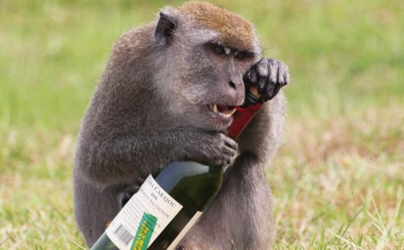 Алкоголь краще їжі: мавпа залізла в магазин і напилась лікеру