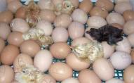 Курячі яйця дорожчатимуть впродовж всього року