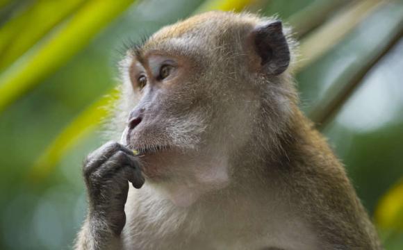 На курортах у Індії відпочивають мавпи