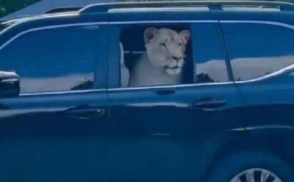 Харківський депутат їздить у автомобілі зі справжнім левом. ВІДЕО