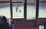 Дикий ведмідь заліз на подвір'я, аби погратися з собакою. ВІДЕО