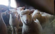 У британський готель пробралася вівця. ВІДЕО