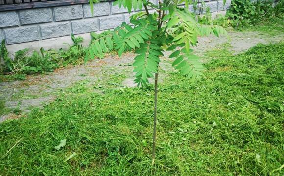 Різня газонокосаркою: мешканці Нововолинська обурені роботою комунальників
