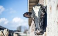 Завдяки Brexit Великобританія першою в Європі заборонить експорт живих тварин