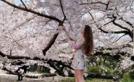 Дівчина з Луцька показала, як у Токіо цвітуть сакури. ФОТО. ВІДЕО