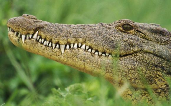 Масова втеча крокодилів з ферми: оголошено полювання на рептилій