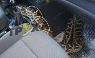 Таксист на доставку замість тістечок отримав повзучий «сюрприз» у вигляді змії. ФОТО