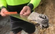 Австралійського метелика-гіганта знайшли на будівництві у початковій школі