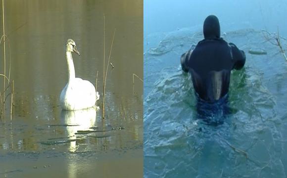 На Теремнівських ставках лебеді вмерзли в кригу. ФОТО. ВІДЕО