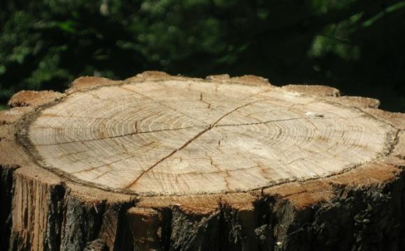 У дворі багатоквартирного будинку в Луцьку серед білого дня зрізали дерево. ВІДЕО