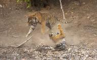 Вражаюча «битва титанів»: на відео зняли поєдинок двох тигрів