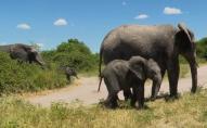 Влада Намібії продає десятки слонів на аукціоні