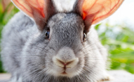 Волинянин вкрав кролицю та встиг її забити