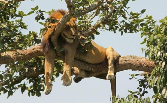 У національному парку країни знайшли розчленованими шість унікальних левів