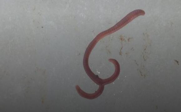Волинянин-рибалка викопав двоголового черв'яка. ФОТО
