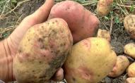 Чи можна вживати хвору картоплю, яку виявили на Волині