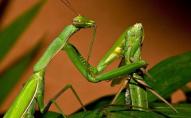Чому самка богомола з'їдає самця після спарювання